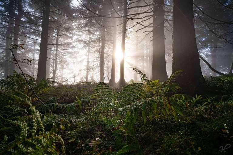 Nebelstimmung im Wald mit Farn