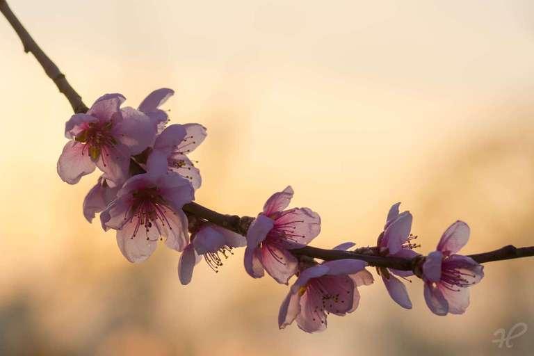 Aprikosenblüte im Gegenlicht