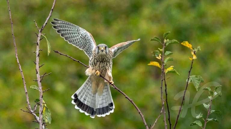Falke im Abflug