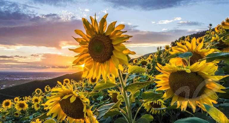 Sonnenblumen in den Weinbergen Bühlertal