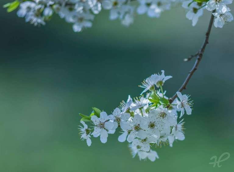 Blühende Frühzwetschge