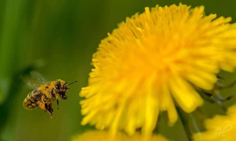 Biene voll mit Blütenstaub