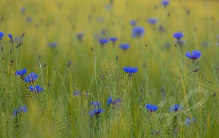 Kornblumen im Feld