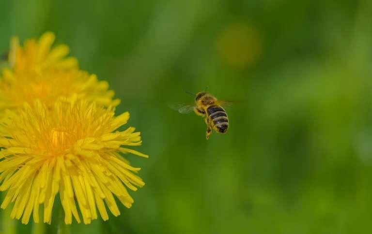 Biene im Anflug auf Löwenzahn