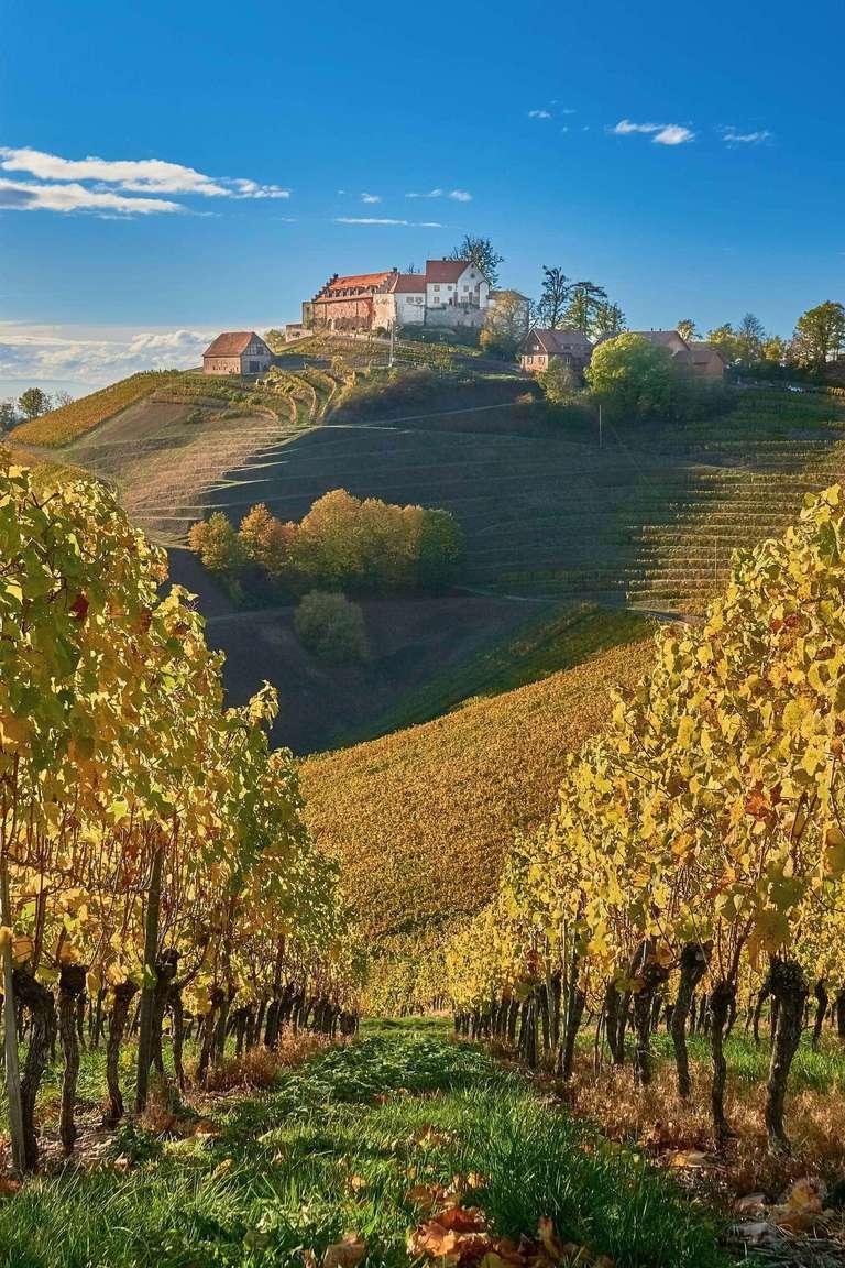 Reben in Durbach im Herbst