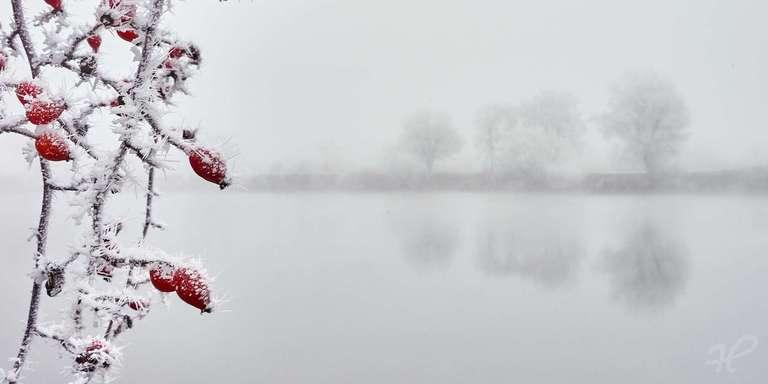Hagebutten im Nebel