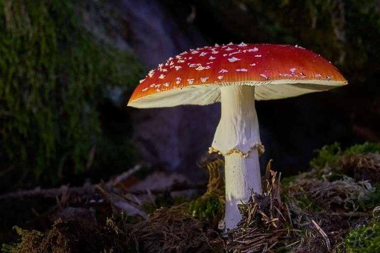 prachtvoller Fliegenpilz im Wald