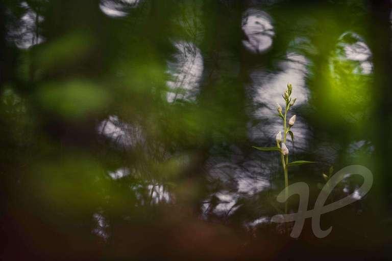 Weißes Waldvögelein