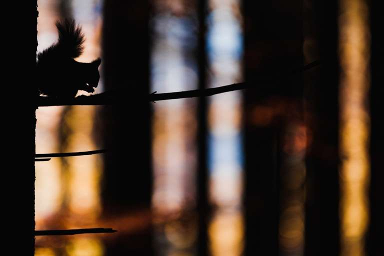 Eichhörnchen-Silhoette