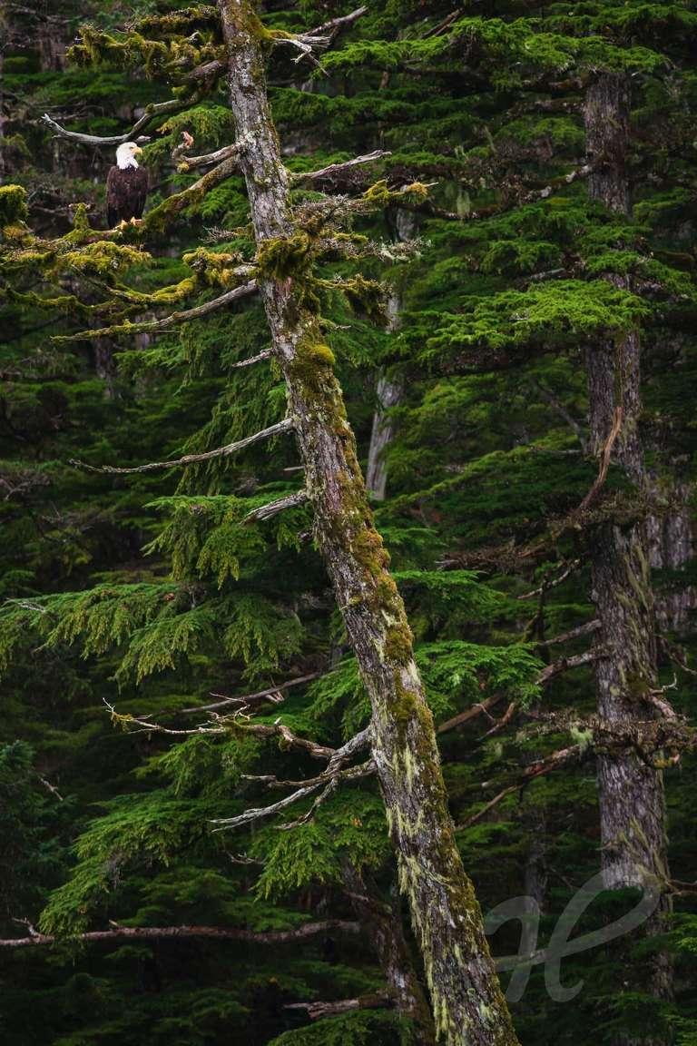 Weisskopfseeadler im Küstenwald