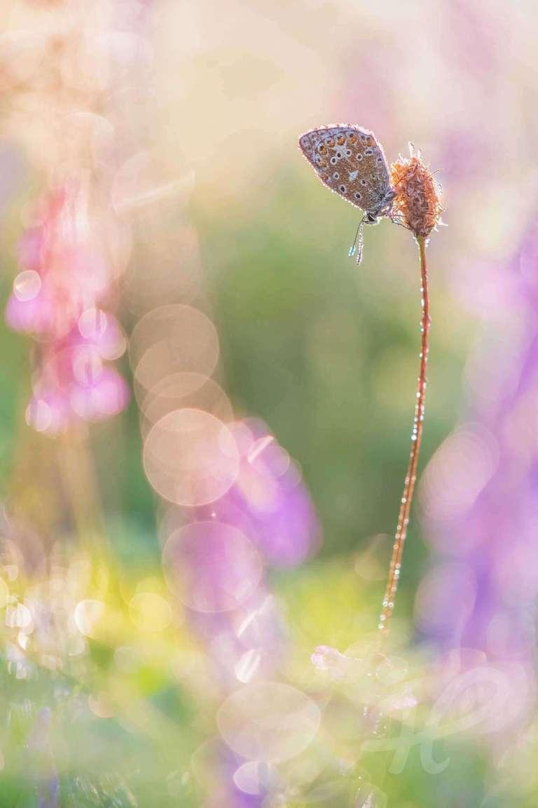 Bläuling in einer Sommerwiese