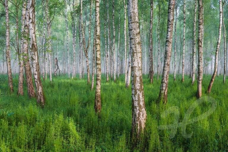 Moorbirkenwald
