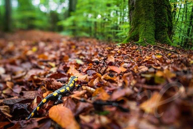Feuersalamander am Waldboden