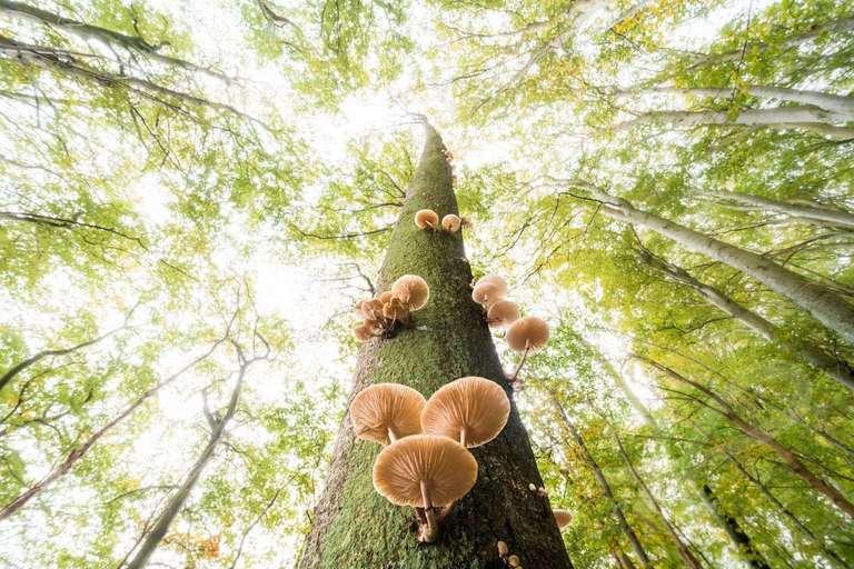 Buchenschleimrüblinge an einem Baum