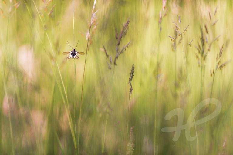 Libellen-Schmetterlingshaft in der Wiese