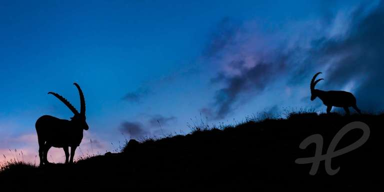 Alpensteinbock Silhouette