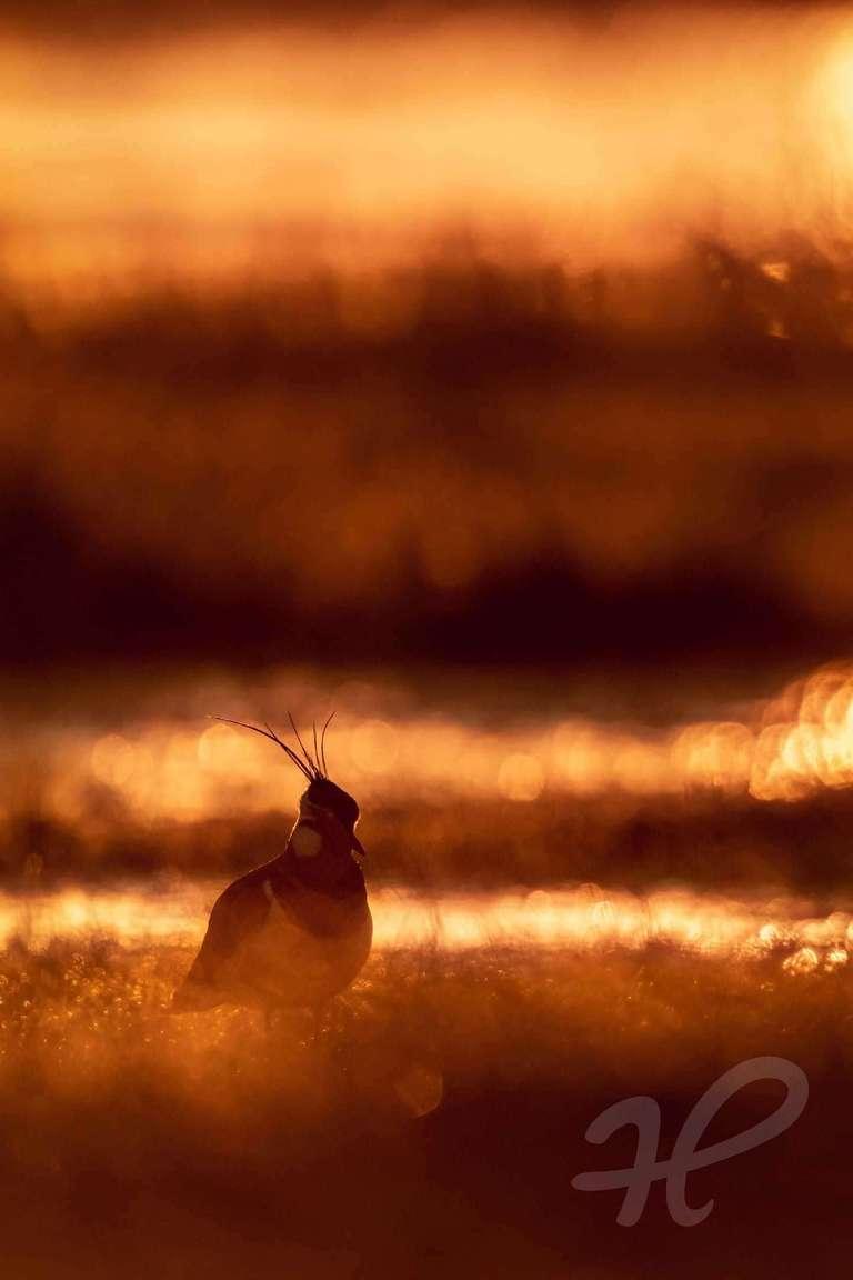 Kiebitz im Morgenlicht