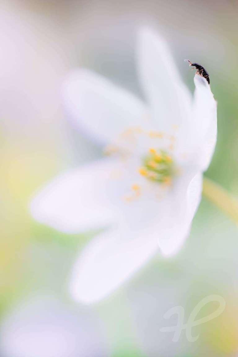 Käfer auf einem Buschwindröschen
