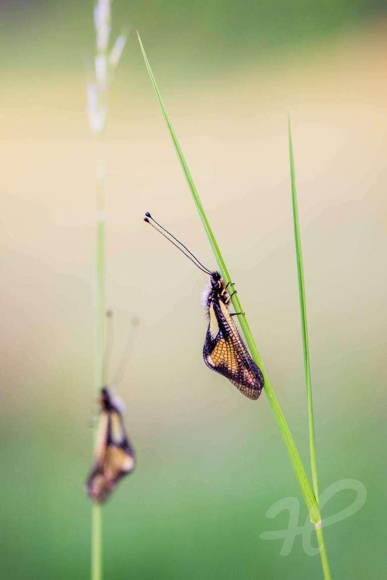 Doppelte Schmetterlingshaft
