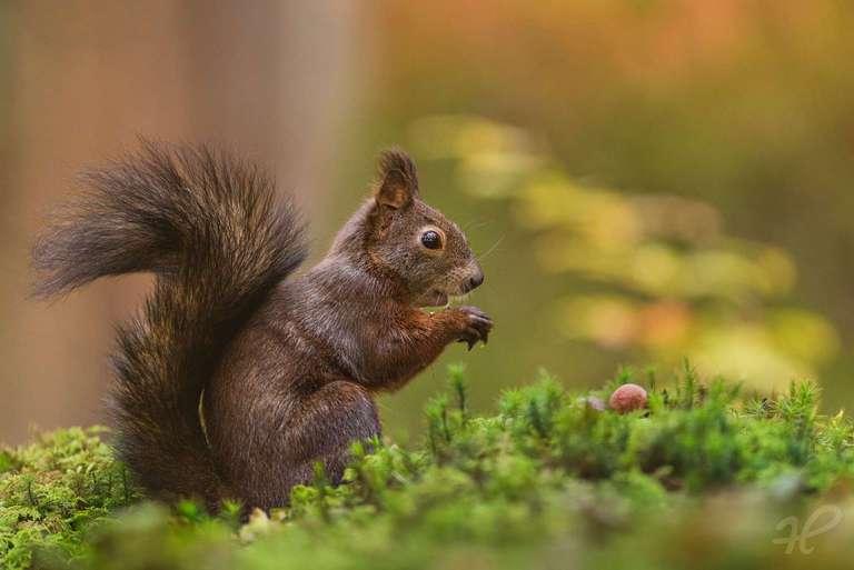 Eichhörnchen im Moos