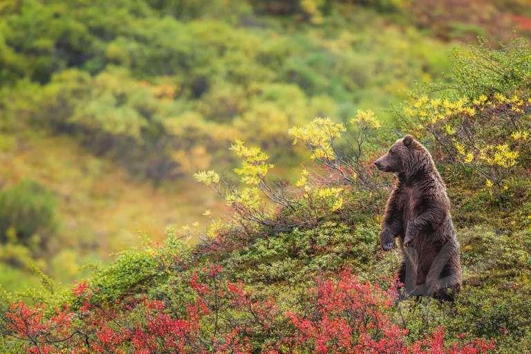 Grizzly im Denali