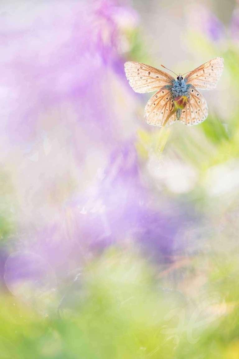 Schmetterling im Tau
