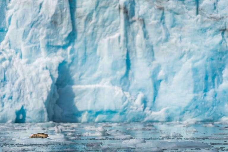 Robbe auf einer Eisscholle