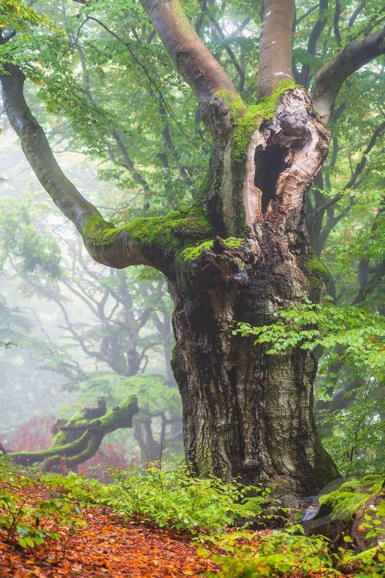 Rotbuche im Nebel