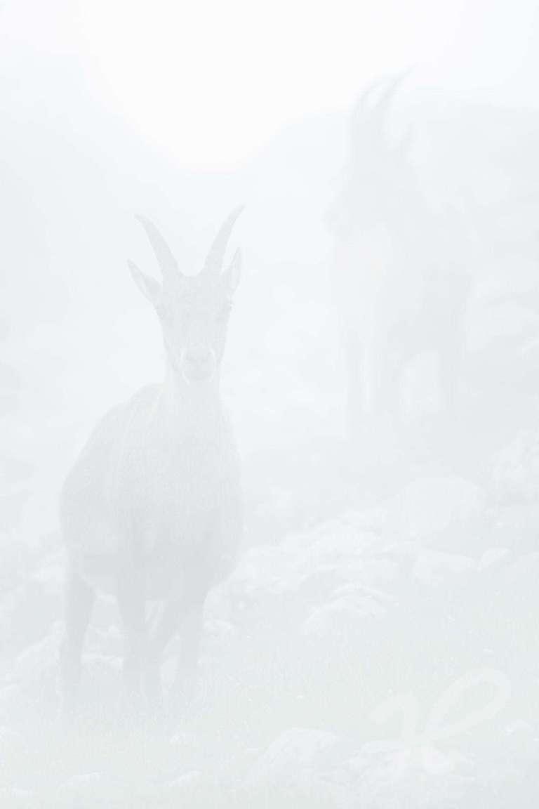 Steinbock im Nebel