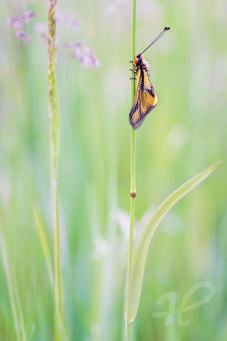Schmetterlingshaft in einer Wiese