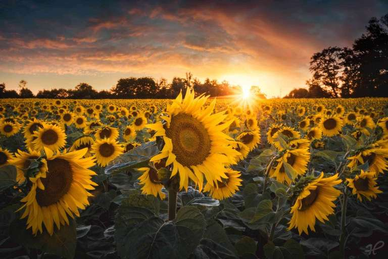 Sonnenblume_02_highres