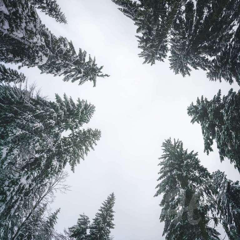 Baumkronen im Winter
