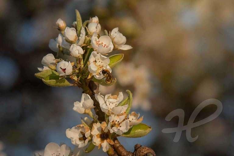 Biene am Apfelbaum