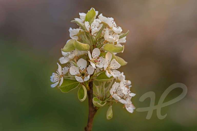 Blüte Apfelbaum