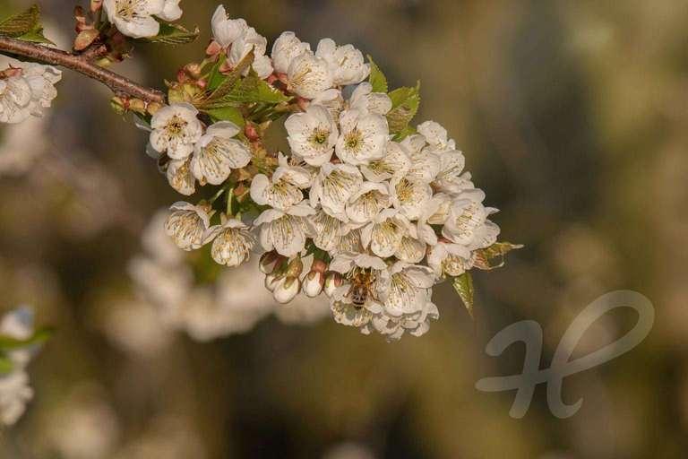 Biene in den Blüten