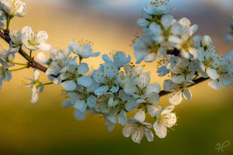 Erste Zwetschgenblüten im Frühling