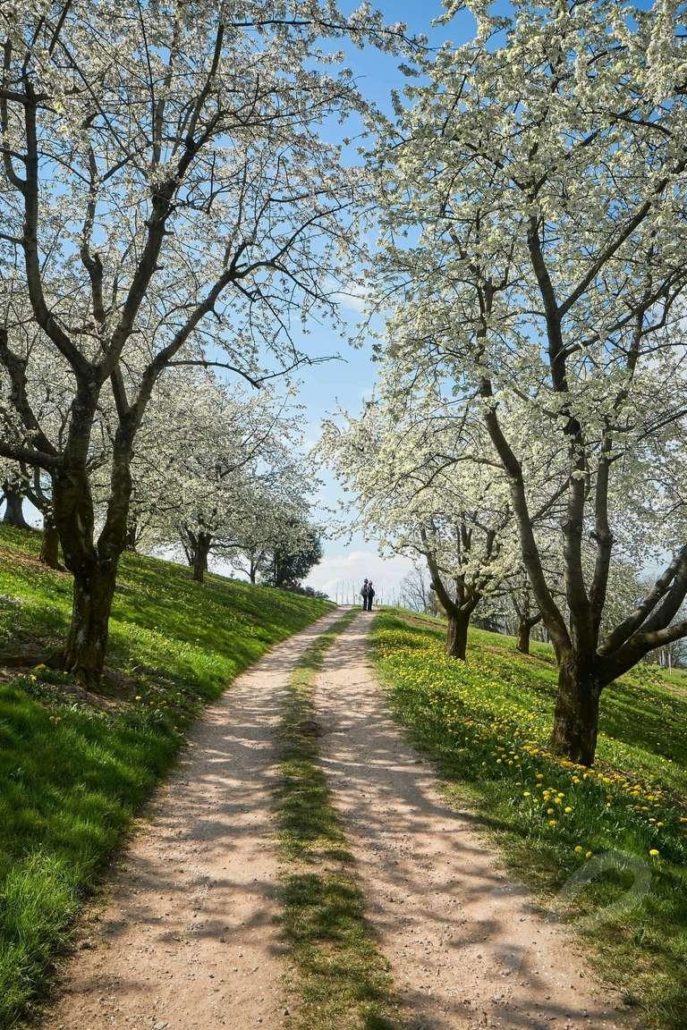 Blühende Obstbäume mit Weg