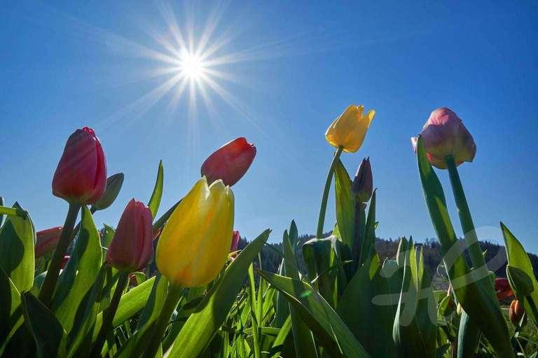 Tulpen mit Sonne