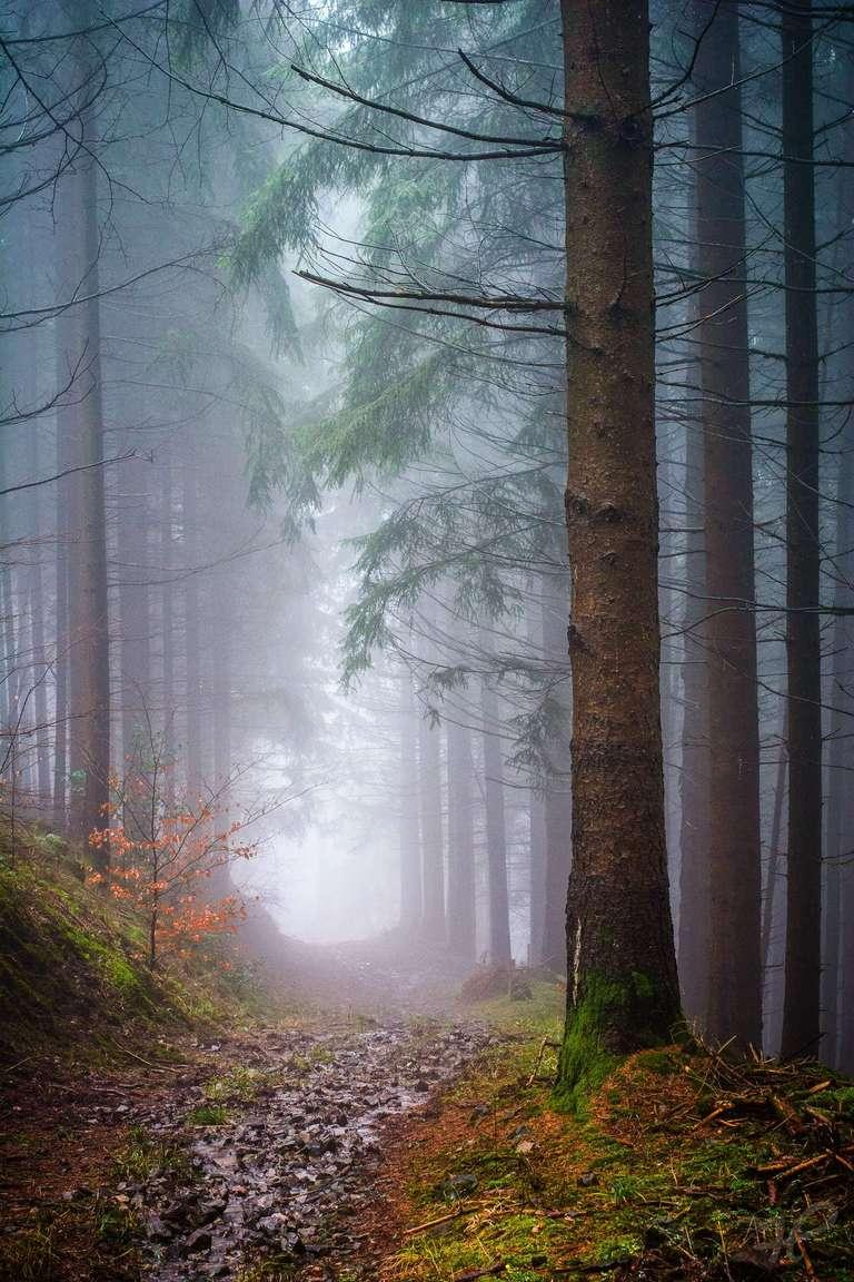 Regen im Nadelwald