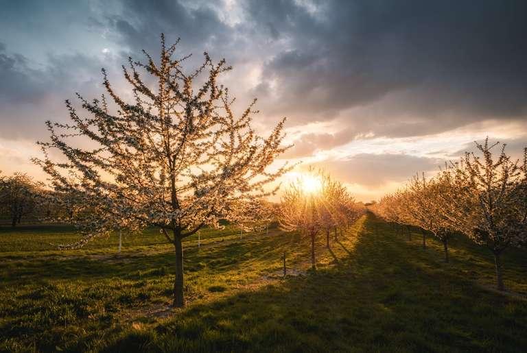 Kirschbaum in Blüte im Sonnenuntergang