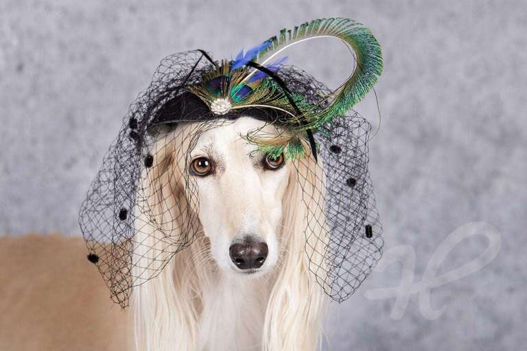 Saluki mit Fascinator
