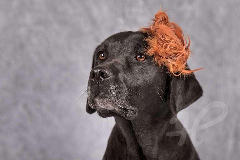 Labrador mit Fascinator