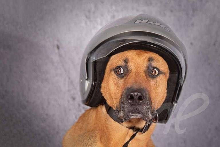 Schäferhund mit Motorradhelm