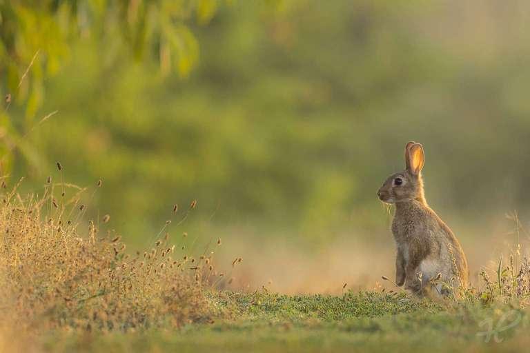 Kaninchen am Morgen