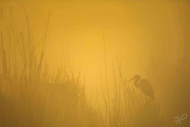 Purpurreiher im Morgennebel