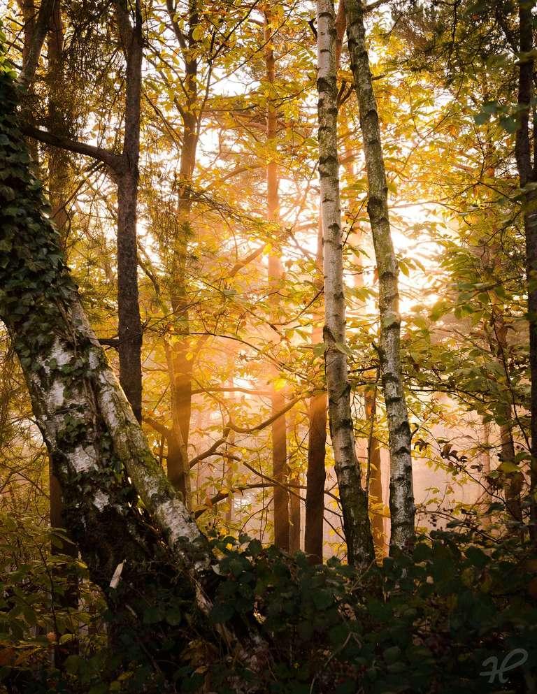 Nebelstrahlen durch den Wald