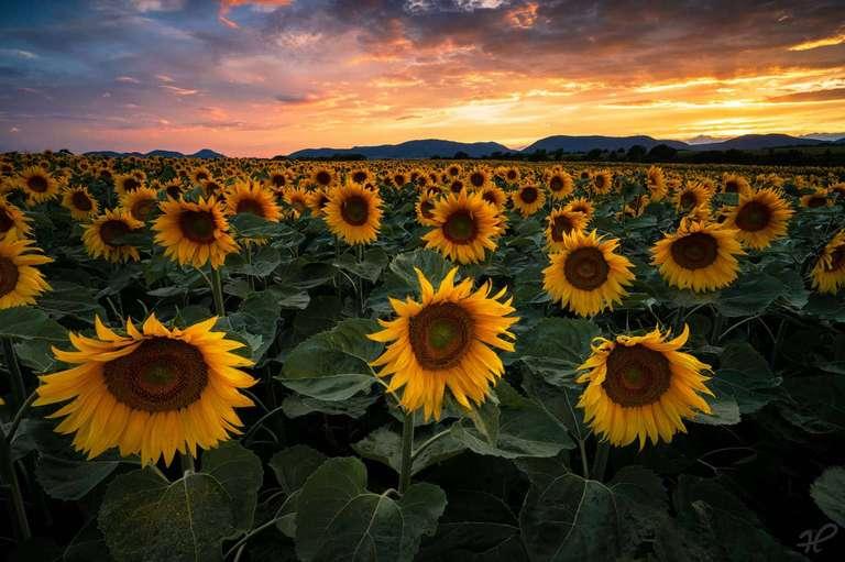 Sonnenblumen in der Pfalz