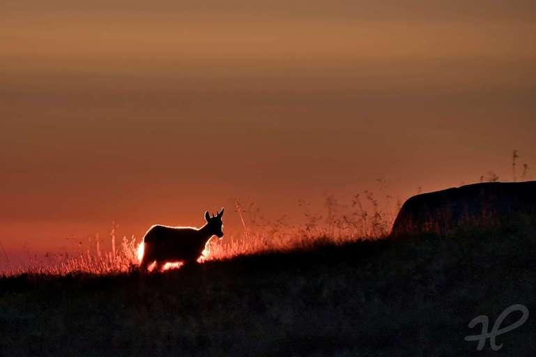 Gams vor der aufgehenden Sonne