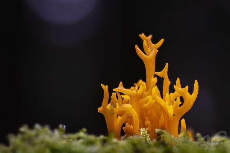 Ramaria Flava - Schwefelgelbe Koralle