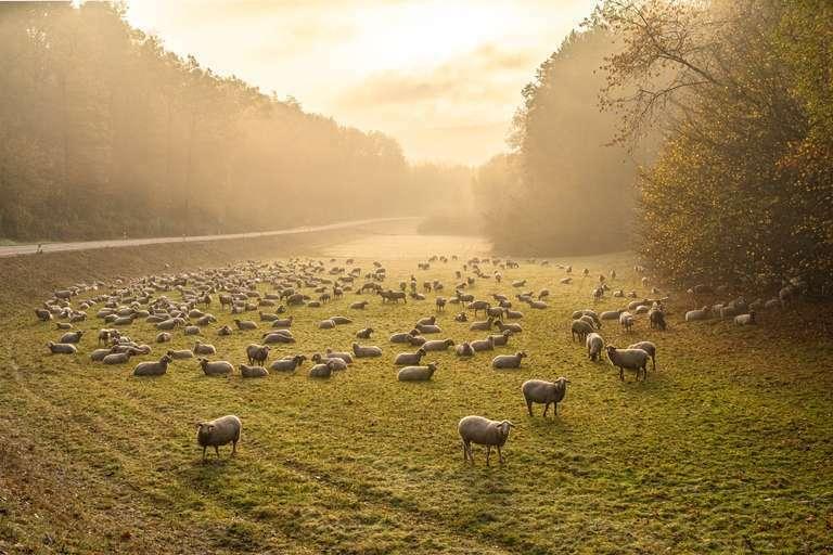 Schafherde im Morgenlicht